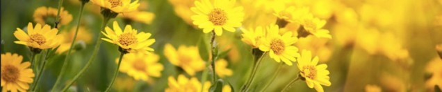 cropped-cropped-yellow_daisies1.jpg