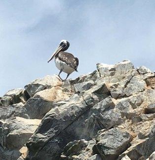 BI-pelican