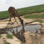 Giraffe drinking