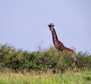 Giraffe peeking