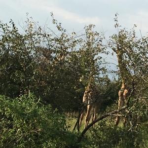 Giraffes hiding