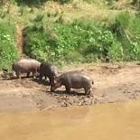 Hippos by Mara River