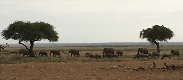 Elephants and wildebeests on the move
