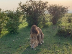 Lions honeymooning
