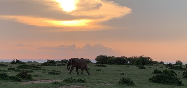 Elephant walking at sunset