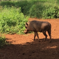 Warthog in the bush