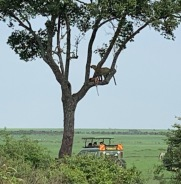 Leopard in tree & vehicle