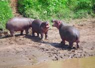 Mara Intrepids noisy hippos playing
