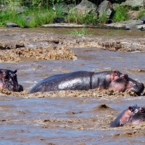 River full of hippos