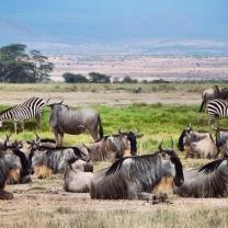 Wildebeest & zebras resting