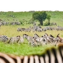 Hundreds of zebras