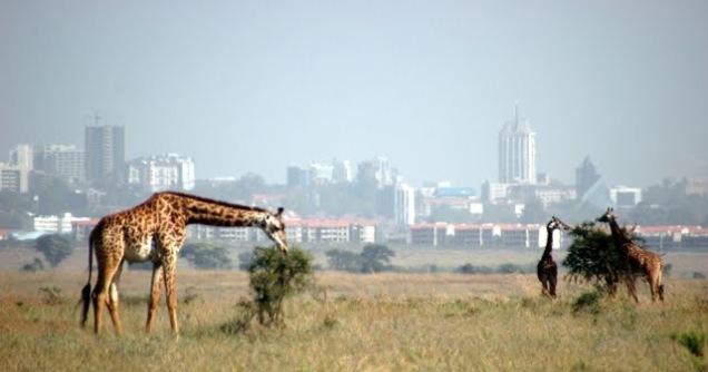 Nairobi giraffes