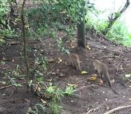 Mara Intrepids mongoose