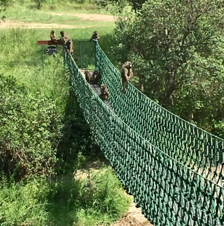 Mara Intrepids monkey bridge