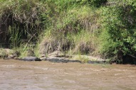 Mara Intrepids crocodile