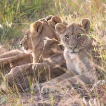 Mara Intrepids lion cubs