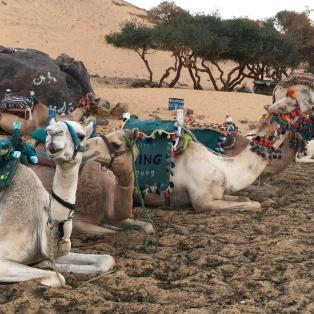 Camels on Kitchner Island